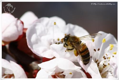 Apis méliféra sur fleurs de pommiers