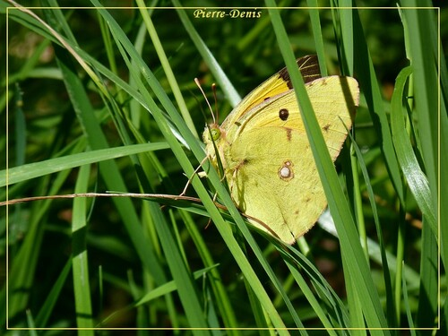 quelques merveilleux papillons en cliché de pierre.denis