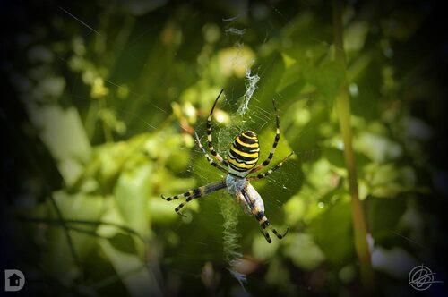 insecte, araignée, argiope frelon