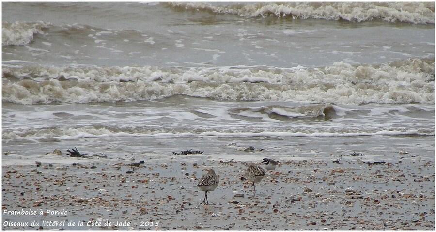 Les limicoles sur la côte de Jade - Barges rousses et grand gravelot