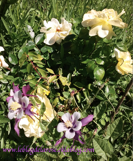 Roses et ancolies/ Roses and columbines