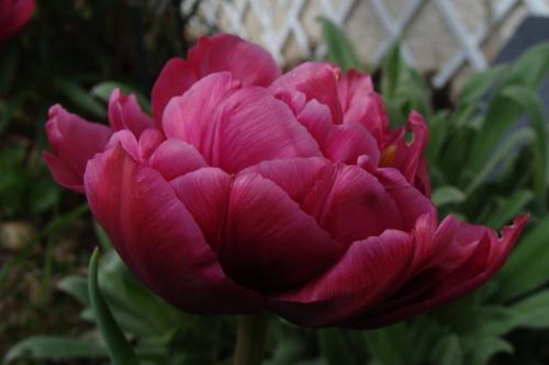 Tulipes de la semaine sainte