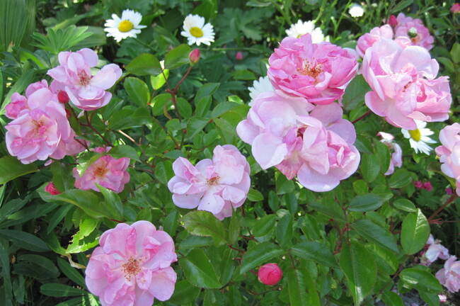 Rose ' Louis Blériot ' de Meilland ( Meibivers ).
