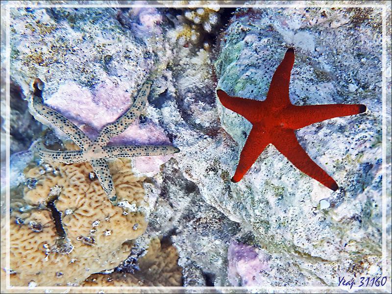 Etoile de mer indienne, Indian sea star (Fromia indica) et Etoile Comète de mer, comet starfish (Linckia multifora) - Snorkeling à Moofushi - Atoll d'Ari - Maldives