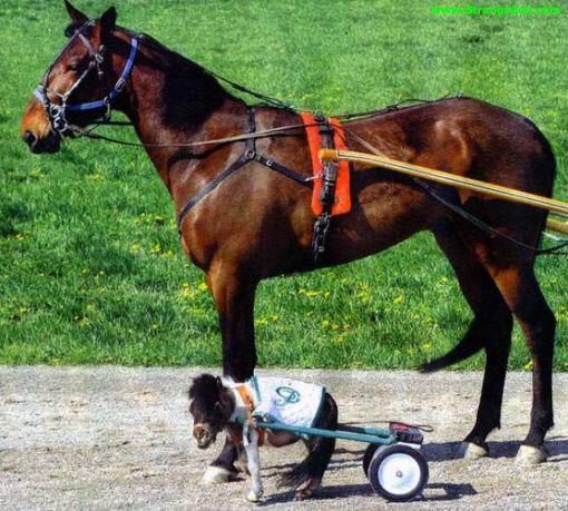 la ce poney est vraiment petit !!!