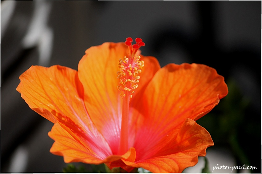 Fleurs d'hibiscus Orangées