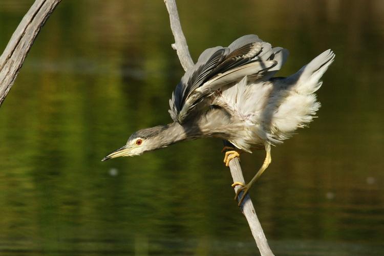 Héron Bihoreau gris