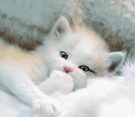 le petit flocon de neige cest dire le chaton trop mignon