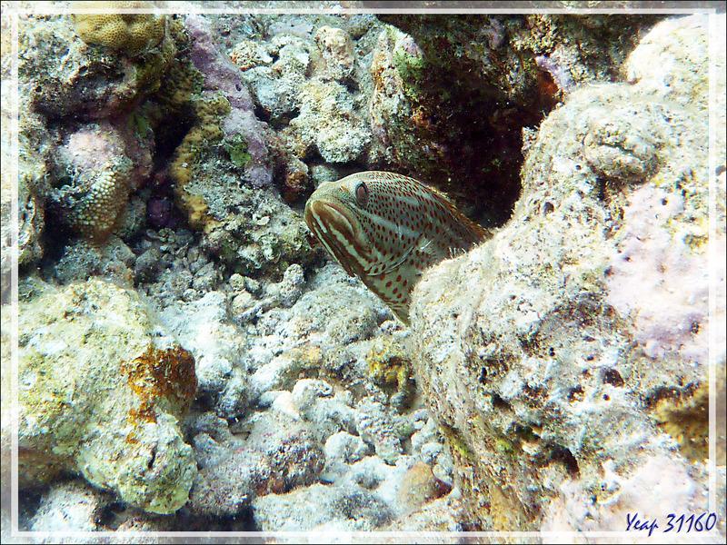 Mérou élégant, Loche à lignes blanches, Mérou tacheté de rouge, Slender grouper, Whitelined rockcod (Anyperodon leucogrammicus) - Moofushi - Atoll d'Ari - Maldives