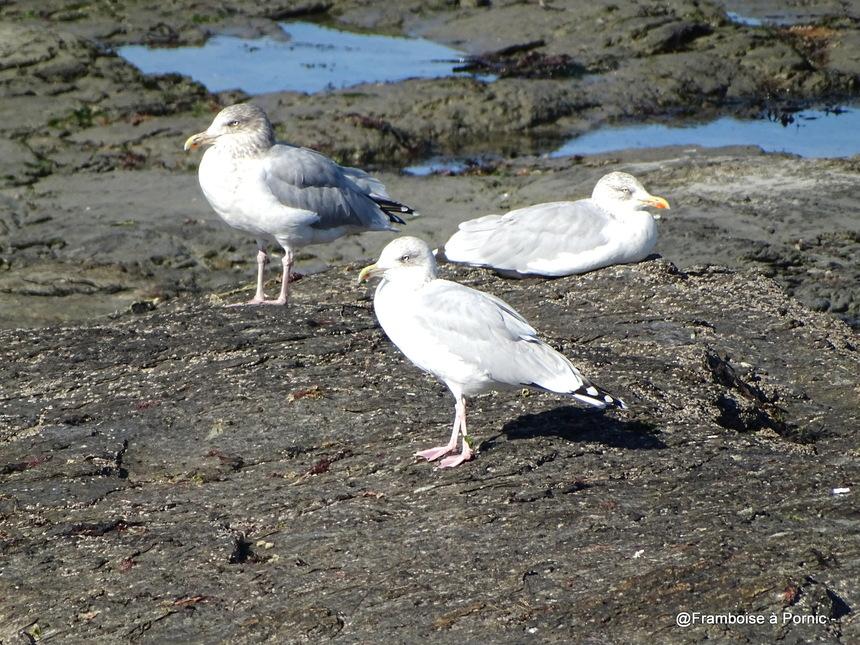 Les oiseaux de la Prée à la Plaine sur Mer - 44- Goéland argenté