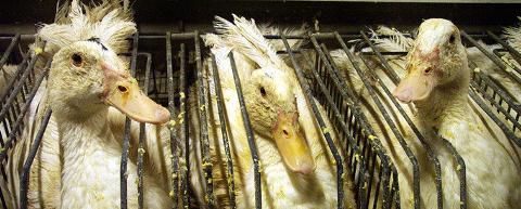 Le gavage des oies et des canards