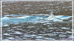 Observations de Belugas (Baleines blanches, White whales) - Guillemard Bay - Prince of Wales Island - Nunavut - Canada
