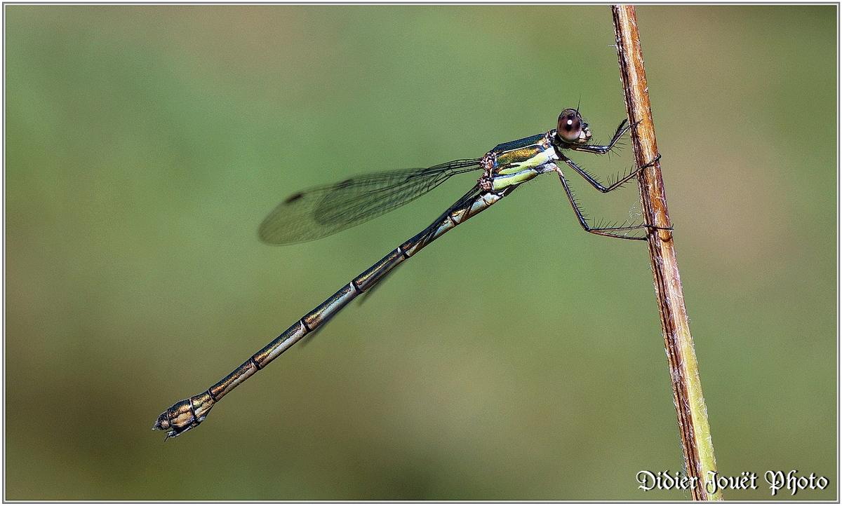 Leste Vert (1) - Chalcolestes viridis