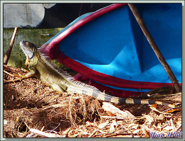 Blog de images-du-pays-des-ours : Images du Pays des Ours (et d'ailleurs ...), Harmonie de courbes: Iguane vert (Iguana iguana) et proue de barque bleue - Tortuguero - Costa Rica
