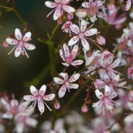 La photo du moment...saxifrage umbrosa Clarence Elliott