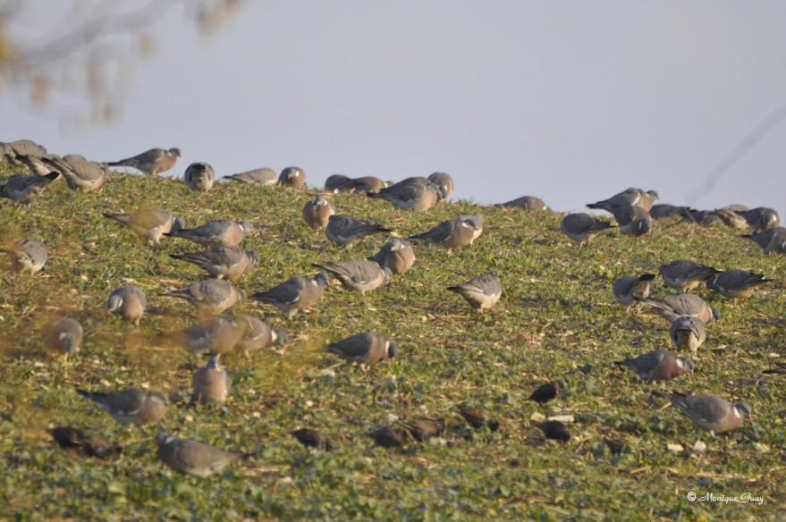 pigeons-au-sol-4519.jpg