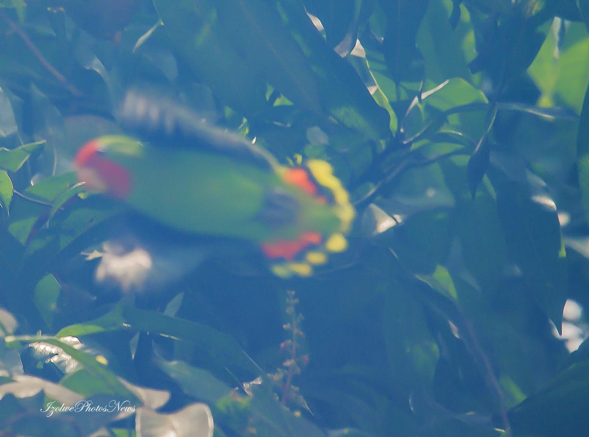 Perruches ou perroquets: c'est la saison des mangues.