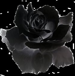 """Défi pour Marjolaine """"La Rose noire """""""