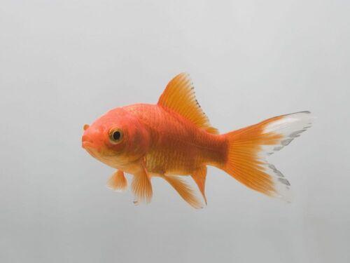 Fonds de tiroir -Les mémoires d'un poisson rouge
