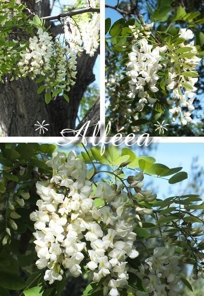 2013-21 acacias1