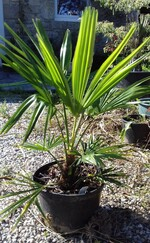 trachycarpus wagnerianus x sp nainital