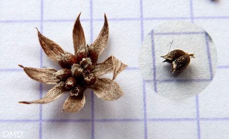 Sherardia arvensis - shérardie des champs   rubéole des champs
