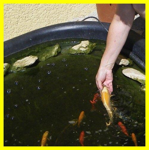poisson koi, bassin
