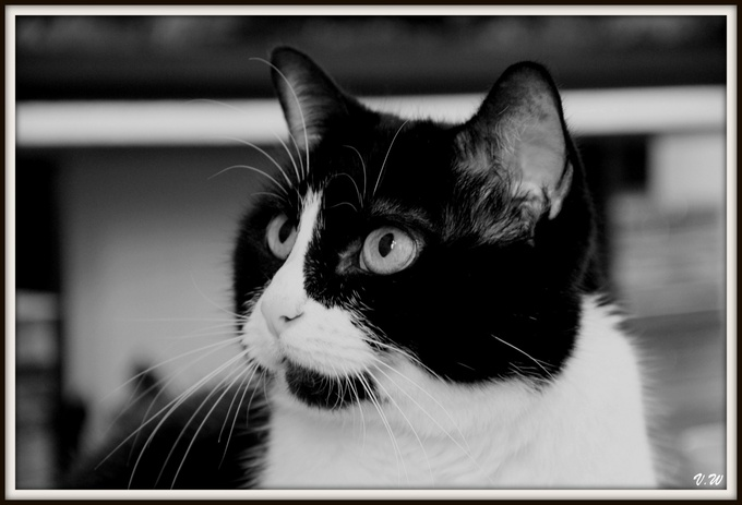 Chat : Jodie version black & white