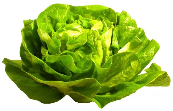 Laitue lactuca sativa - Salade a couper qui repousse ...