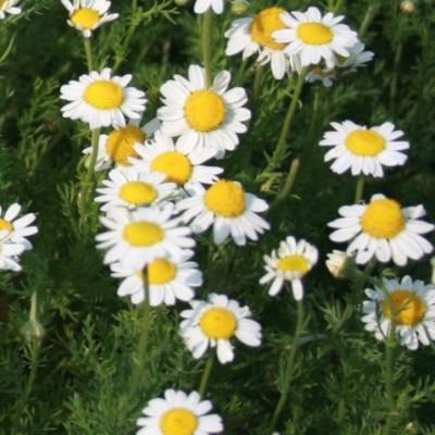Camomille romaine - Vente en ligne de plants de Camomille romaine pas cher  | Leaderplant