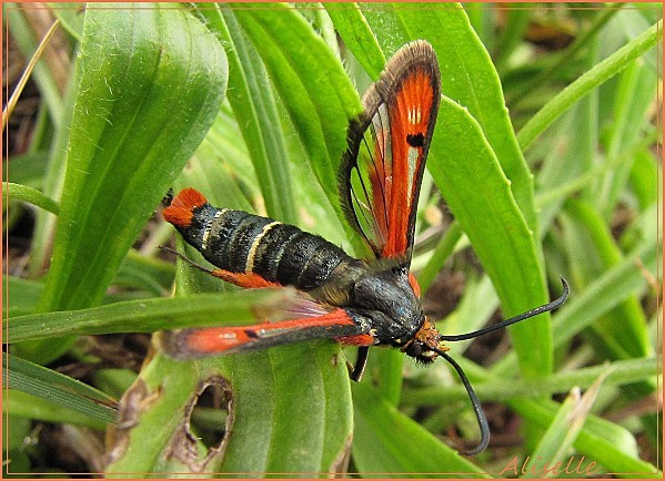 Papillon-rouge-et-noir-2.jpg