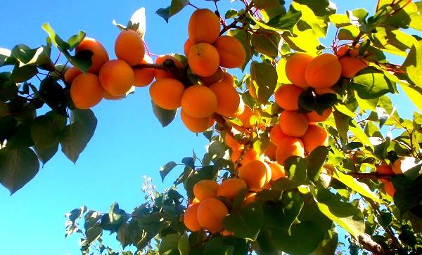 Les bons abricots de Provence