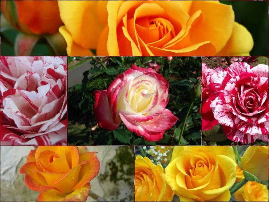 Mes fleurs préférées/la rose