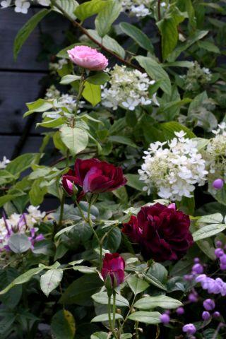 """Carnaval """"Des Blogs, des Voyages, des Plantes"""" : La Rose"""