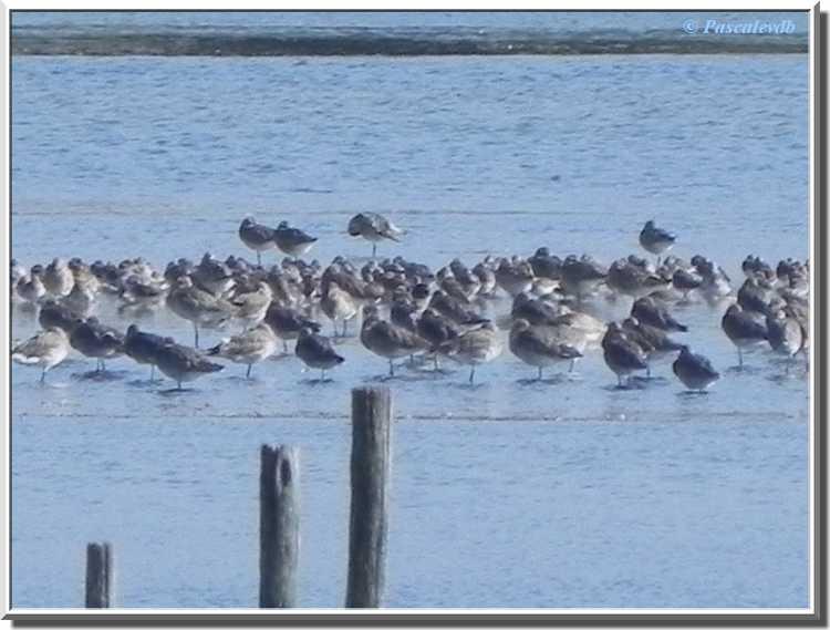 Parc ornithologique du Teich - chevaliers  gambettes