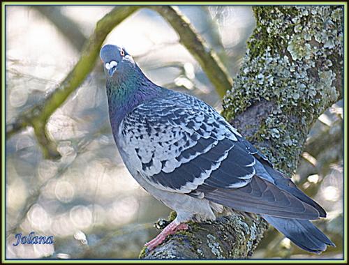 Pigeons et ficaire