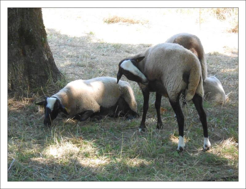 les moutons des villes sont toujours élégants....