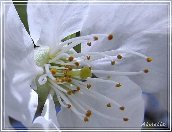 Cerisier-04-2010-d.jpg