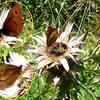 Moiré sylvicole ou Grand nègre (Erebia aethiops) mâle