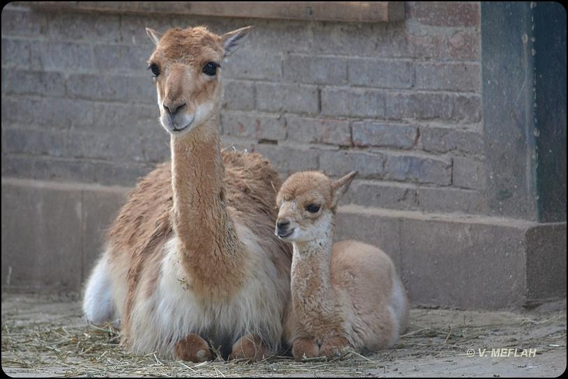 La Ménagerie, Zoo du Jardin des Plantes : Naissance d'une petite Vigogne