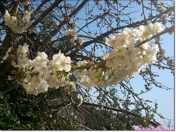 Un cerisier carcassonnais