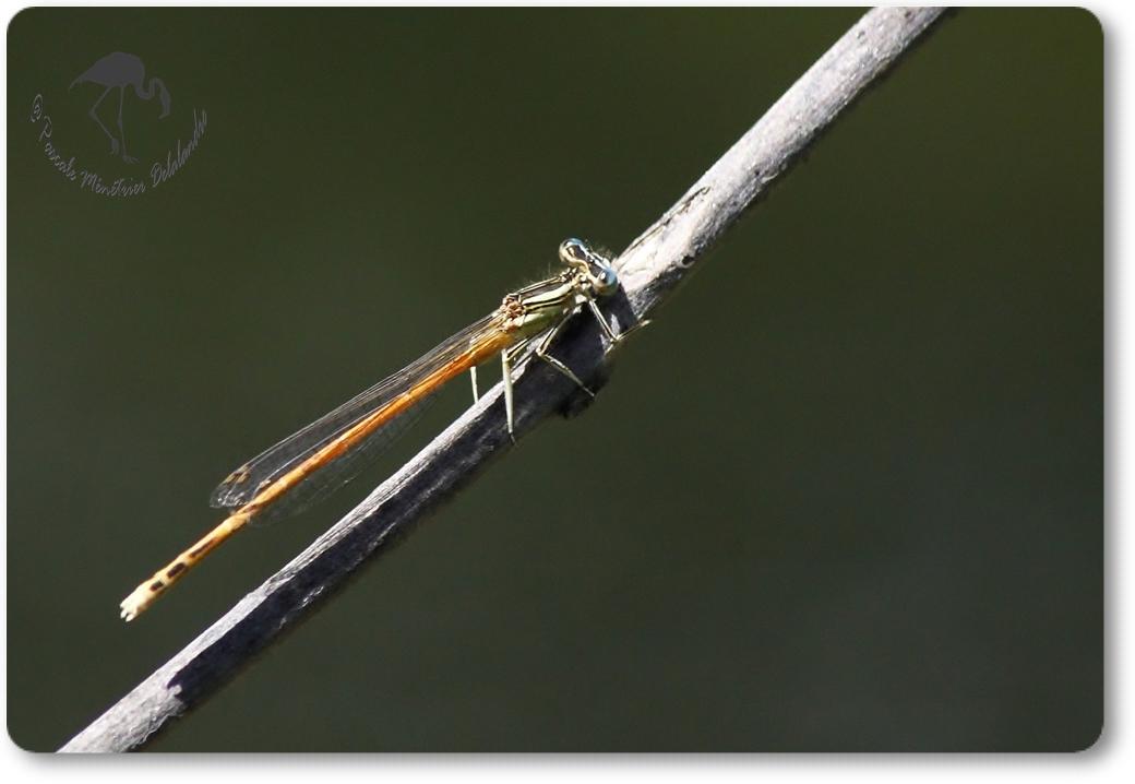 Agrion orangé (Platycnemis acutipennis) mâle