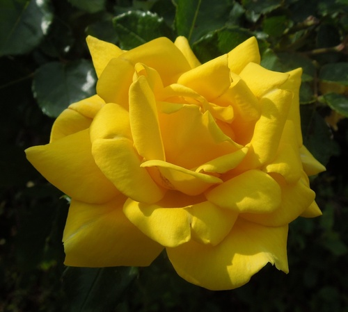 Roses d'or épanouies