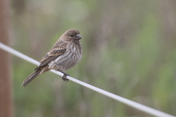 House Finch - Colorado Lagoon Park