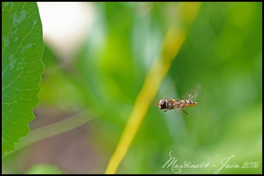 Un syrphe en vol