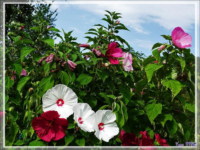 Hibiscus (ou Ketmie) des marais (Hibiscus palustris) - Lartigau - Milhas - 31