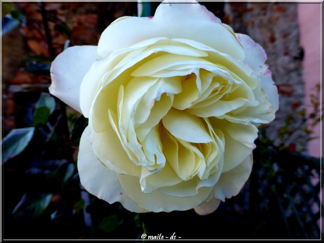 La rose de l'amitié pour notre ami Jacques