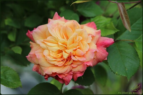 Le réveil des roses