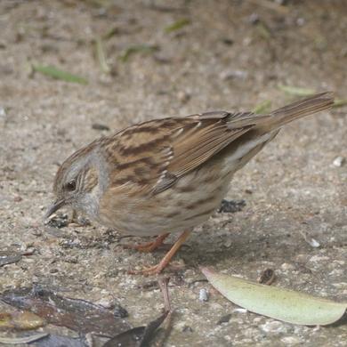 Portrait d'oiseau : l'accenteur mouchet..