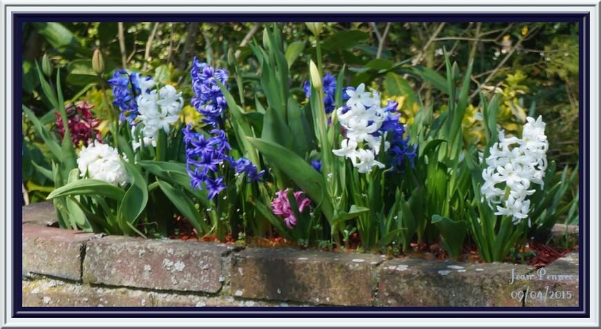 Corbeilles de jacinthes